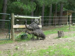 Emus drinking