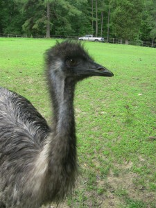 Emu 2 - side