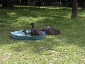 Emu bath 1