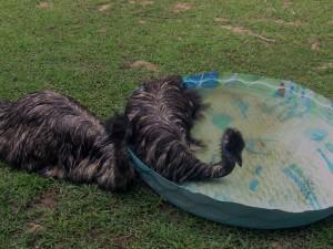 Emu bath 5