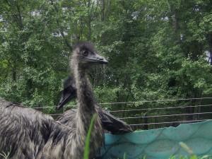 Emu bath 3