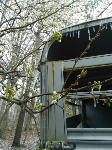 Icicles in March 1