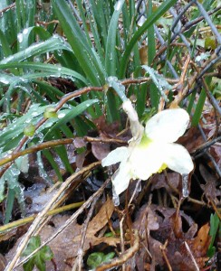 Daffodils in ice 2
