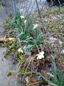 Daffodils in ice 1