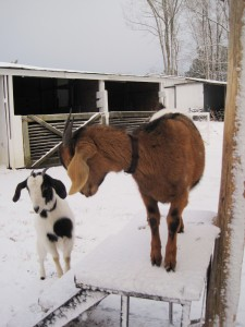 Goats in the snow 1