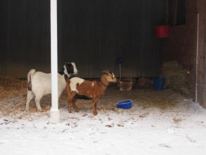 Goats in the snow 0