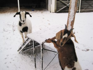Goats in the snow 2