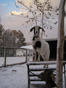 Goats in the snow 3