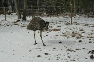 Emus in the snow 10