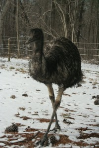 Emus in the snow 9