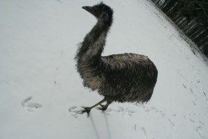 Emus in the snow 5
