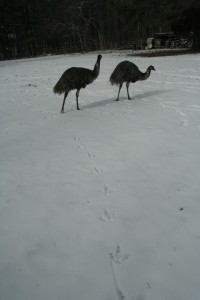 Emus in the snow 1