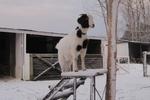 Snoopy the goat in the snow